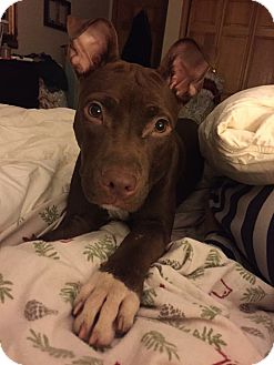 American Staffordshire Terrier Mix Puppy for adoption in East Hartford, Connecticut - Nola in CT