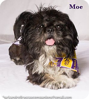 Shih Tzu Dog for adoption in Baton Rouge, Louisiana - Moe