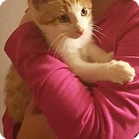 Adopt A Pet :: Gizmo - Mount Clemens, MI