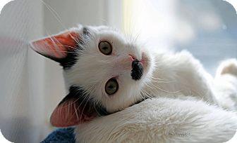 Domestic Shorthair Kitten for adoption in Rocklin, California - Fred & Ginger