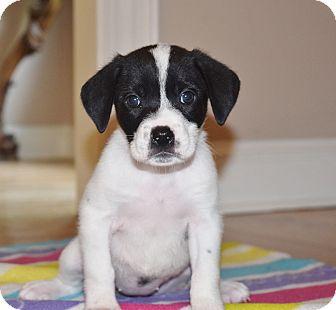 Beagle Mix Puppy for adoption in Milwaukee, Wisconsin - ERIN