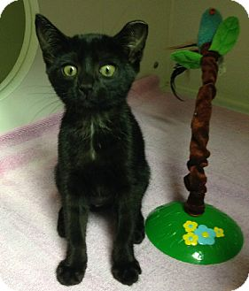 Domestic Shorthair Kitten for adoption in Putnam Hall, Florida - Sabrina