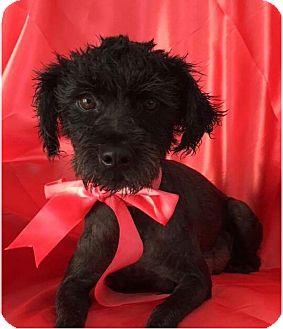 Poodle (Miniature) Mix Dog for adoption in pasadena, California - HANNAH