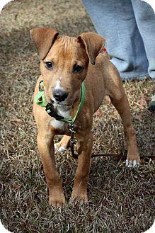 Labrador Retriever Mix Puppy for adoption in Macon, Georgia - Rocky