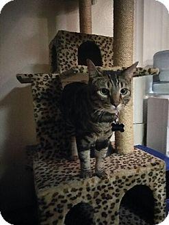 Bengal Cat for adoption in Wildomar, California - Archer