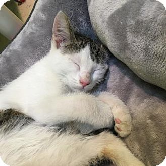 Domestic Shorthair Kitten for adoption in Janesville, Wisconsin - Cederic Diggory