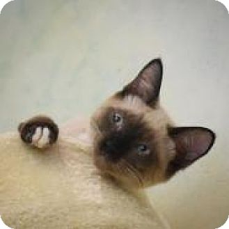 Siamese Kitten for adoption in Dallas, Texas - Bubble