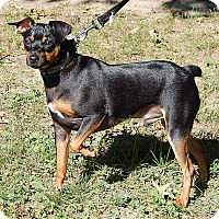 Miniature Pinscher Dog for adoption in Twinsburg, Ohio - Toby (12 lb) A Cutie!