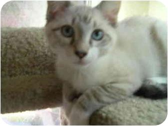 Snowshoe Kitten for adoption in Davis, California - Bojangles