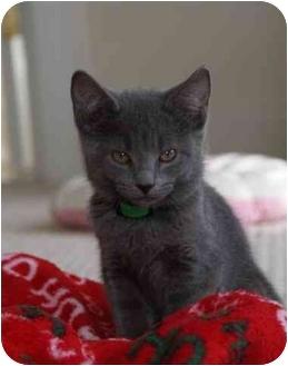 Domestic Shorthair Kitten for adoption in Aldie, Virginia - Stormy