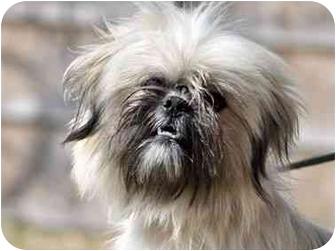 Shih Tzu Mix Dog for adoption in Portsmouth, Rhode Island - Eddie