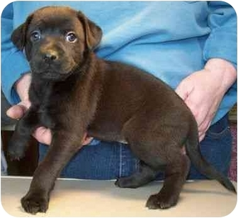 Labrador Retriever Mix Puppy for adoption in North Judson, Indiana - Whitney
