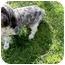 Photo 2 - Shih Tzu Puppy for adoption in Kokomo, Indiana - Sketcher