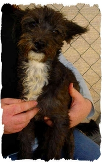 Cairn Terrier/Chihuahua Mix Puppy for adoption in Bakersfield, California - Buster