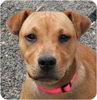 Pit Bull Terrier/Shar Pei Mix Puppy for adoption in Phoenix, Oregon - Chelsea