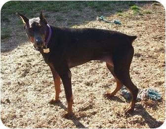 Doberman Pinscher Dog for adoption in New Richmond, Ohio - Faith--adopted!!