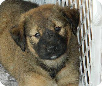 Labrador Retriever/German Shepherd Dog Mix Puppy for adoption in Conesus, New York - Lucy