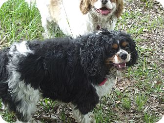Cavalier King Charles Spaniel Dog for adoption in Chiefland, Florida - Jefferson