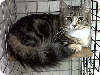 Domestic Mediumhair Cat for adoption in Mission, British Columbia - Harley