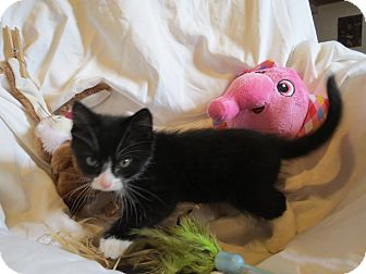 Domestic Mediumhair Kitten for adoption in Geneseo, Illinois - Kayla