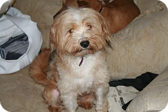 Poodle (Miniature)/Maltese Mix Dog for adoption in Westfield, Indiana - Teddy