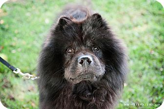 Chow Chow Dog for adoption in Tucker, Georgia - Bear