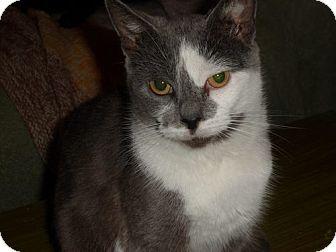 Domestic Shorthair Cat for adoption in Norwich, New York - Martha