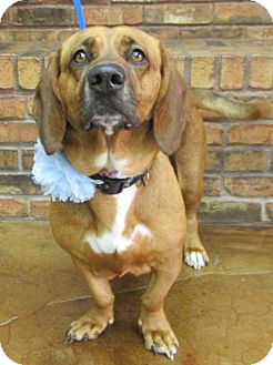 Basset Hound/Beagle Mix Dog for adoption in Benbrook, Texas - Cookie