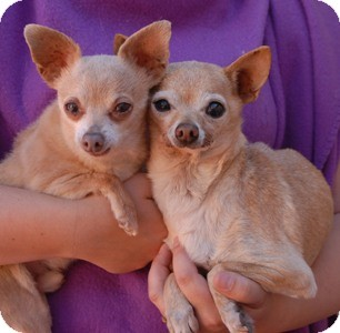 Chihuahua Mix Dog for adoption in Las Vegas, Nevada - Ricky