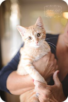 Domestic Shorthair Cat for adoption in Edwardsville, Illinois - Andrew
