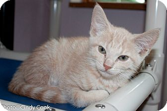 Domestic Shorthair Kitten for adoption in Ann Arbor, Michigan - Tink