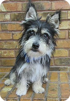 Schnauzer (Miniature) Mix Dog for adoption in Benbrook, Texas - Jasper