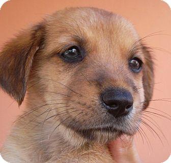 Golden Retriever/Spaniel (Unknown Type) Mix Puppy for adoption in Pennigton, New Jersey - Rusty
