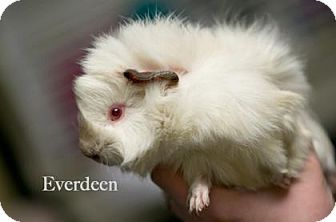 Guinea Pig for adoption in West Des Moines, Iowa - Everdeen