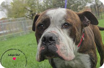 American Bulldog Mix Dog for adoption in Sidney, Ohio - Tyke