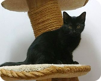 Domestic Shorthair Kitten for adoption in Saanichton, British Columbia - Co-co