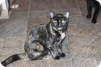 Domestic Shorthair Kitten for adoption in Secaucus, New Jersey - Skittles
