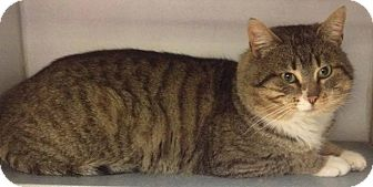 Domestic Shorthair Cat for adoption in Lapeer, Michigan - SPIKE--YOUNG HANDSOME FELLA!