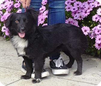 Dachshund/Terrier (Unknown Type, Small) Mix Dog for adoption in Lathrop, California - Kiwi