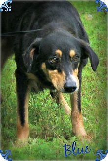 Shepherd (Unknown Type)/Collie Mix Dog for adoption in Benton, Arkansas - Blue