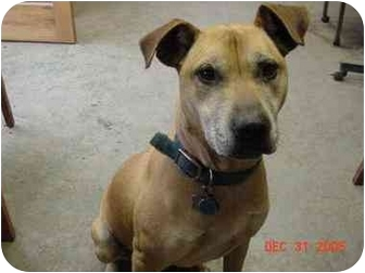 Great Dane/Shepherd (Unknown Type) Mix Dog for adoption in Litchfield, Connecticut - Tracker