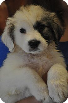 Great Pyrenees Mix Puppy for adoption in Atlanta, Georgia - Lucy