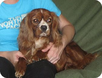 Cavalier King Charles Spaniel Dog for adoption in Salem, New Hampshire - Scarlett