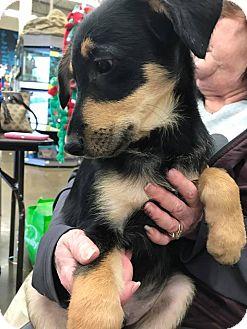 German Shepherd Dog/Terrier (Unknown Type, Medium) Mix Puppy for adoption in waterbury, Connecticut - Ernie