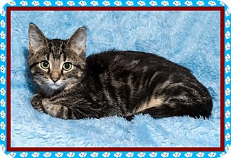 Domestic Shorthair Kitten for adoption in Mt. Prospect, Illinois - Charlie Brown