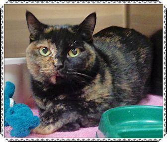Domestic Shorthair Cat for adoption in Marietta, Georgia - RORY