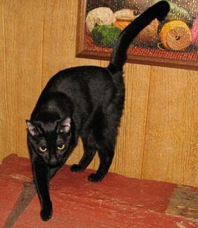 Domestic Shorthair Cat for adoption in Spring Grove, Pennsylvania - Valimai (adult female)
