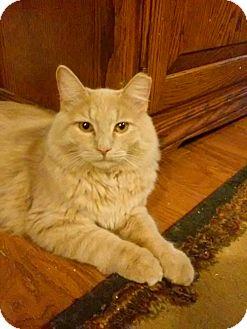 Domestic Shorthair Cat for adoption in Irwin, Pennsylvania - Bentley