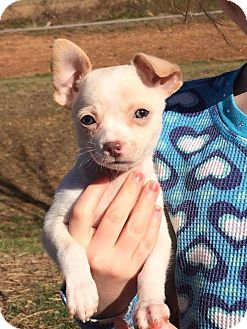 Chihuahua Puppy for adoption in Providence, Rhode Island - Squirt