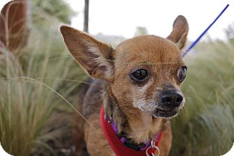 Chihuahua Mix Dog for adoption in San Antonio, Texas - Rosaline